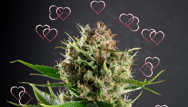 Dutch Treat Haze hearts
