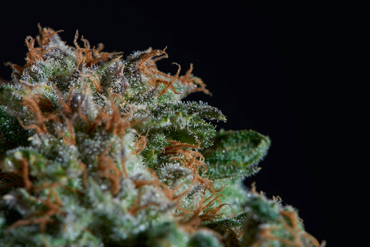 Big Widow Strain Review - the Perfect Hybrid