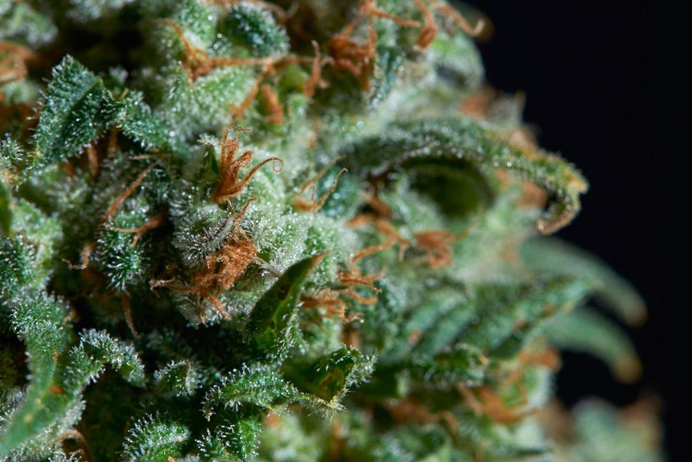 Big Widow cannabis strain