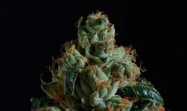 True OG Strain Review - a Powerful Indica