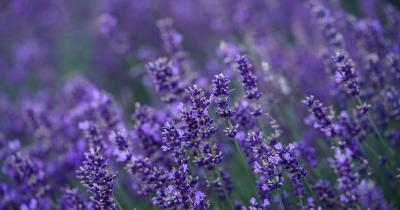Linalool Terpene: Strains, Effects, and Benefits